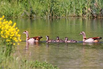 Nilgans-Familie (Foto: U. Rühl)
