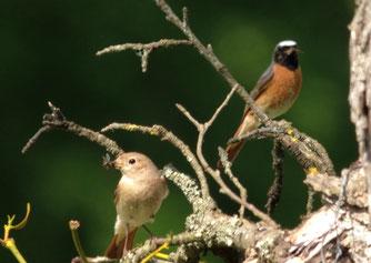 Gartenrotschwanz Stgt-Solitude, Weibchen (links) und Männchen