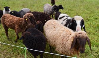 Schafe auf der Weide - Schafwolle als Wärmedämmung - Hausbau - Wohnhaus