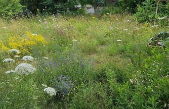 Wildblumenwiese mit Wilder Möhre, echtem Labkraut, Malve und lockerer Strauchhecke im Hintergrund.