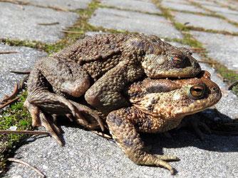 Foto: (Katja Geilen) Erdkröten
