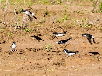 Mehlschwalben sammeln Lehm. - Foto: Kathy Büscher