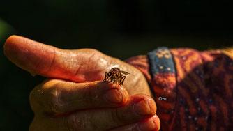 Hornissen mögen auch den Honig, Felix Macht zeigt sie uns ganz nah! ( Bild hu)