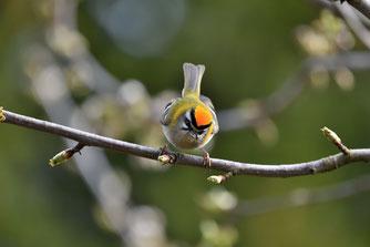 Sommergoldhähnchen fotografiert von Herrn Aretz