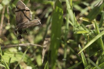 Brauner Waldvogel Aphantopus hyperantus