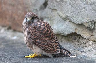 Jungvogel Turmfalke (dh)
