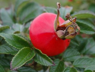 Bild: dicke rote Hagebutte der Apfelrose glänzt in der Herbstsonne