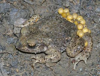 Geburtshelferkröte Laichschnur männlich