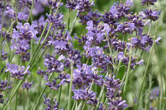 Lavendel Foto: NABU / Manfred Schemmelmann