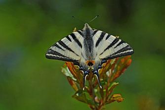 Segelfalter (Iphiclides podalirius) Fam. Ritterfalter   Foto: H. Abbel