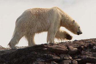 Eisbär ohne Eis - Foto: NABU/Christoph Kasulke