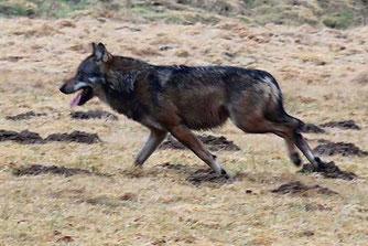 Wolf im Westerwald, Bild: Uli Stadler