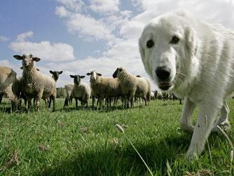 Schafherde mit Herdenschutzhund - Bild: NABU/Klemens Karkow