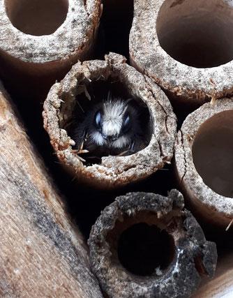 Wildbienen im Insektenhotel Quelle: Sara / Ursula Heinrich