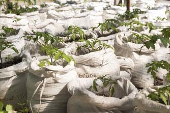 Tomaten-Jungpflanzen Quelle: NABU/Felix Conrad/Best-Sabel