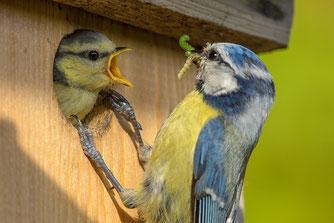 Blaumeise füttert Jungvogel - Foto: NABU/Rita Priemer