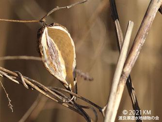 画像:2021/01/06  ガガイモの種が飛んだ残りの莢