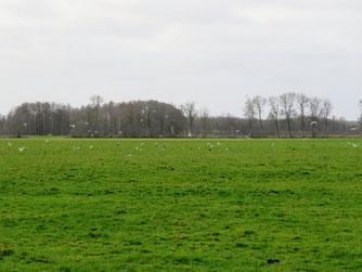 Sturm- und Silbermöwen, Saatkrähen und Kraniche in den Niedermoorwiesen / Foto: NABU Insel Usedom/B. Schirmeister