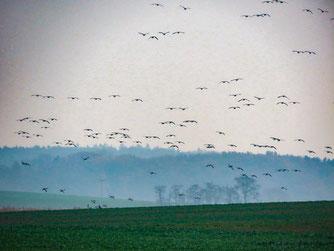 fliegende Weißwangengänse bei Liepe / Foto: NABU Insel Usedom, Bernd Schirmeister