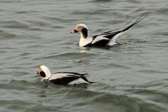 Eisenten / Foto: NABU Insel Usedom, W. Becker