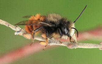 Frisch geschlüpftes Männchen der Gehörnten Mauerbiene | Bild: Kerstin Kleinke/naturgucker.de