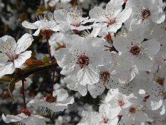 Kirschblüte. Foto: S. Löw