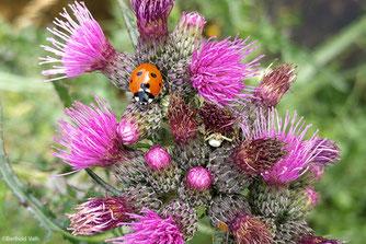 Foto Ein Marienkäfer auf einer Distel