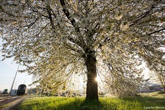 Foto Blühender Kirschbaum auf einem Bahngelände