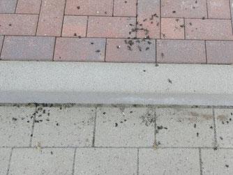 Tote Erdkröten am Kantstein - Foto: W.G.