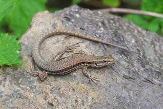 Mauereidechse Reptil des Jahres 2011 Natur des Jahres 2011 NABU Düren