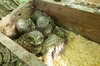 Steinkauz Artenschutz Ein Pass für den Steinkauz Beringung Gesellschaft zur Erhaltung der Eulen NABU Düren