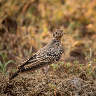 Feldlerche Vogel des Jahres 2019 Natur des Jahres 2019 NABU Düren