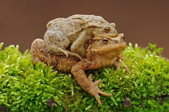 Erdkröte Lurch des Jahres 2012 Natur des Jahres 2012 NABU Düren