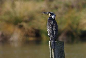 Kormoran Vogel des Jahres 2010 Natur des Jahres 2010 NABU Düren