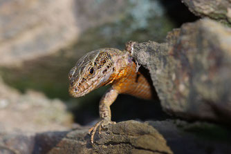 Mauereidechse Reptilien NABU Düren
