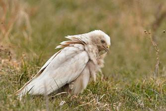 Weißer Mäusebussard Leuzist NABU Düren