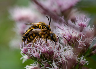 Sechsbinden-Furchenbiene Wasserdost Naturschutztipps Insekten NABU Düren