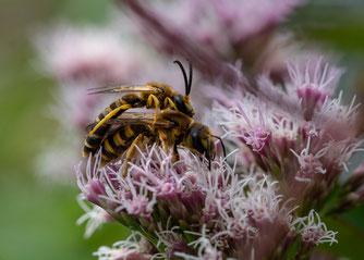 Sechsbinden-Furchenbiene Wasserdost Naturschutztipps Insekten Dr. Ute Nieveler NABU Düren