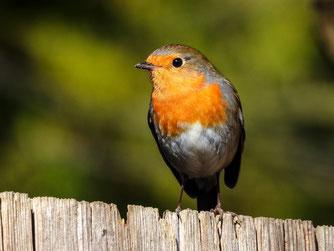 Das Rotkehlchen ist Vogel des Jahres 2021. Foto: NABU/Kathy Büscher