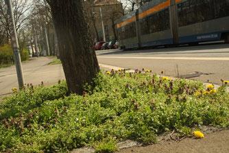 Auf Baumscheiben finden ökologisch wertvolle Wildkräuter einen Lebensraum – ein wichtiger Beitrag zum Schutz der Biodiversität in der Stadt. Foto: Sabrina Rötsch