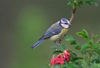 """Die Blaumeise steht bei der """"Stunde der Gartenvögel"""" unter besonderer Beobachtung.  Foto: NABU/Frank Hecker"""