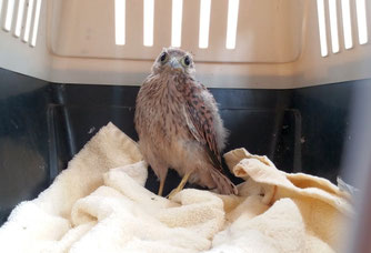 Immer öfter müssen in Not geratene Turmfalken von der Wildvogelhilfe des NABU Leipzig gerettet und gepflegt werden. Foto: NABU Leipzig