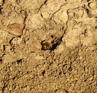 Die Frühlings-Seidenbiene baut ihre Brutzellen in den Erdboden und kleidet sie mit einem seidigen Sekret aus.