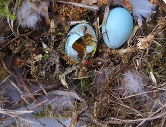 Der Waschbär ist als Nesträuber bekannt. Das Nest des Gartenrotschwanz ist zerstört, einen Altvogel hat der Waschbär ebenfalls erbreutet. Foto: Karsten Peterlein
