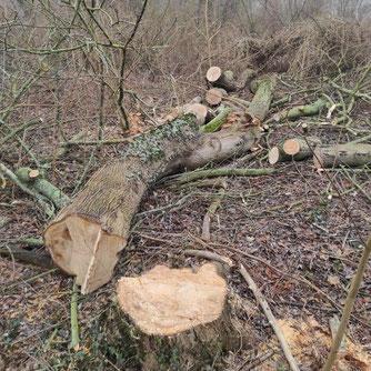 Im Abtnaundorfer Park wurden Anfang März ökologisch wertvolle alte Bäume gefällt. Foto: NABU Leipzig