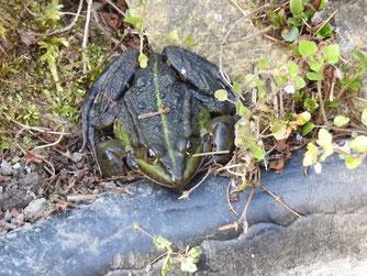 In einem naturnahen, fischfreien Gartenteich fühlen sich auch andere Tiere zuhause, so wie dieser Grünfrosch.