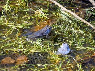 Der Grüne Bogen Paunsdorf war bis vor wenigen Jahren noch ein Moorfroschparadies mit mehreren Laichgewässern. Foto: NABU Leipzig