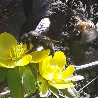 Insektenandrang am Winterling. Diese Nahrungsquelle ist bereits früh im Jahr verfügbar, nicht nur die Honigbienen sind hier zu finden, sondern auch die Blaue Holzbiene nutzt das Angebot. Foto: Matthias Klemm