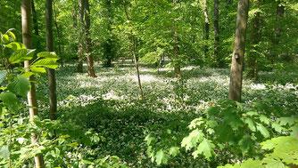 Im Leipziger Auwald breitet sich der auwalduntypische Ahorn aus – zulasten von Arten wie der Eiche, welche vielen anderen Tieren und Pflanzen Lebensraum bietet. Foto: Volker Hahn/iDiv