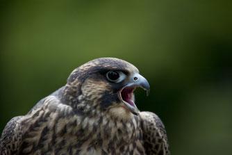 """Als erster """"Vogel des Jahres"""" wurde 1971 der Wanderfalke gewählt. Der Wanderfalkenschutz entwickelte sich zu einer Erfolgsgeschichte des Naturschutzes, heute lebt der eindrucksvolle Vogel sogar in Leipzig. Foto: NABU/Marcus Bosch"""
